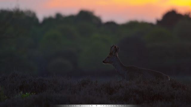 Reebok bij tegenlicht - Roe Deer backlit