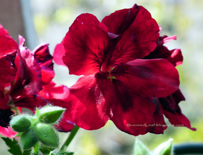 Regal Pelargonium - dark purple flower