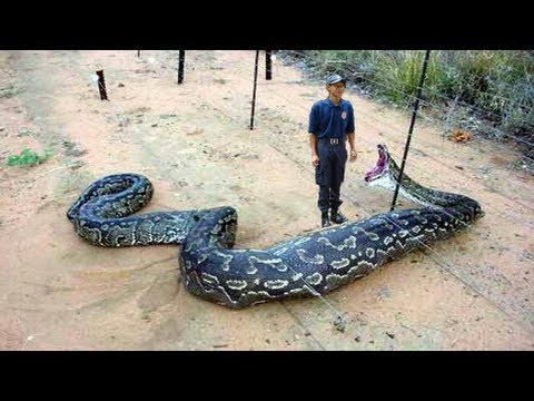 Giant Snake Eats Man on electric fence diagram