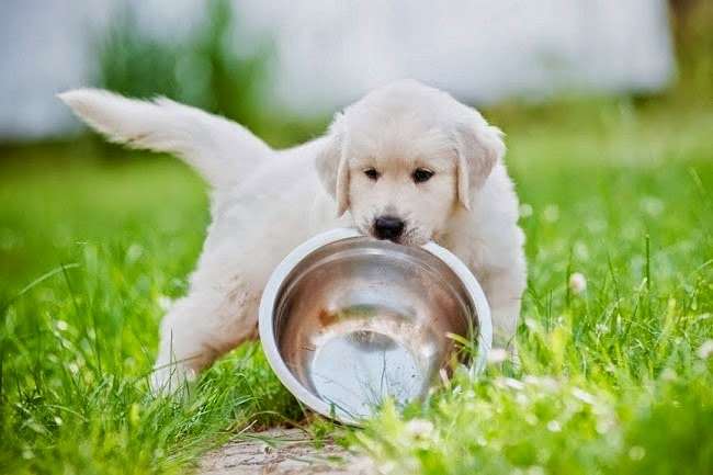 Picie wody przez psa