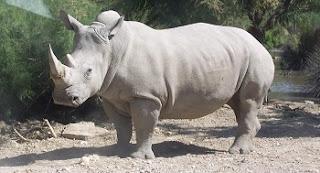 Esta espécie está hoje em sério perigo de extinção. Para 2020, o rinoceronte-branco, originário da África do Sul, deixará de existir, a não ser que diminuam drasticamente o número de seus caçadores e a destruição de seu habitat natural.