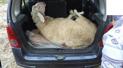 buongiornolink - Viaggiava con una pecora nel baule