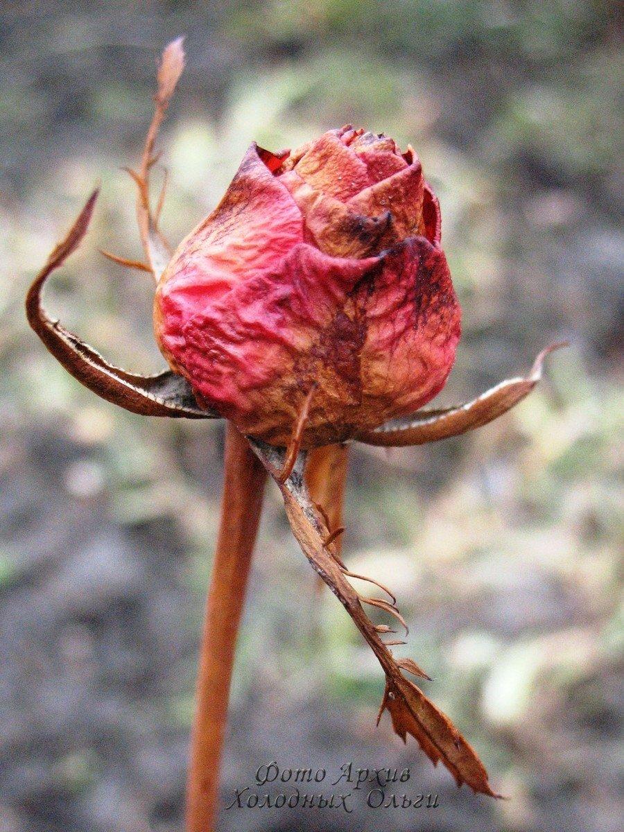 Замерзший бутон розы