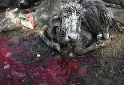 2013 07 17 205654 Penyembelihan Terbesar Paling Kejam Keatas Haiwan