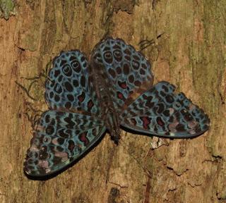 Hamadryas chloe, Forest Cracker