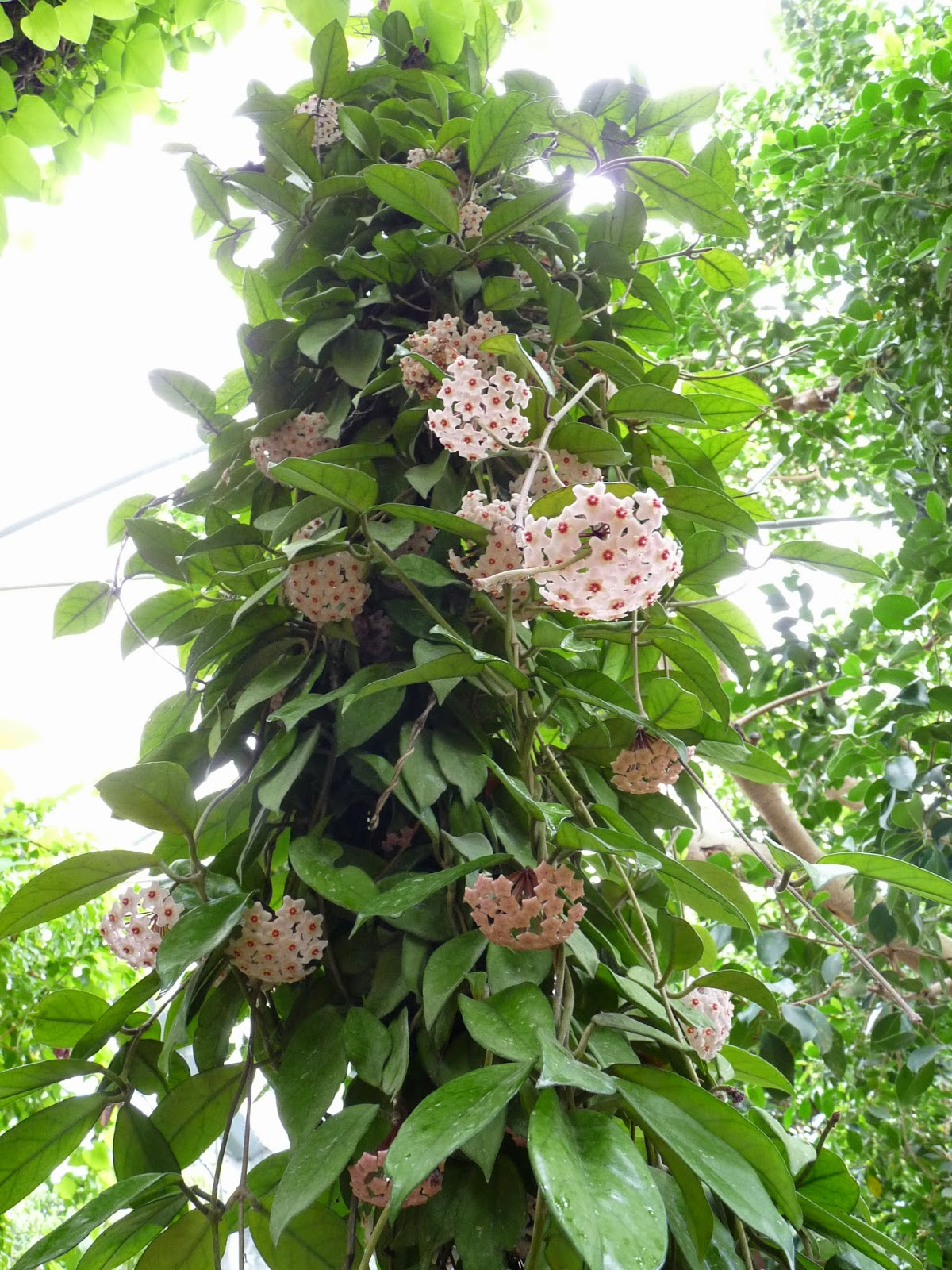 A garden s chronicle Hoya carnosa a beautiful tropical vine