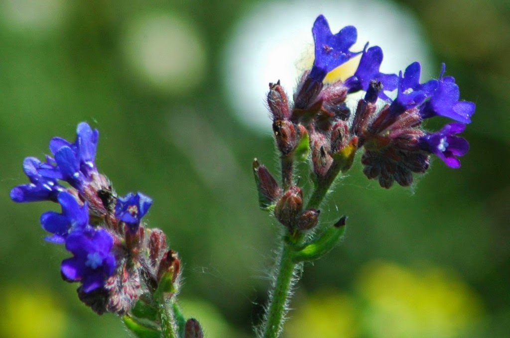 természet, virágok, vadvirágok, tavasz, orvosi atracél