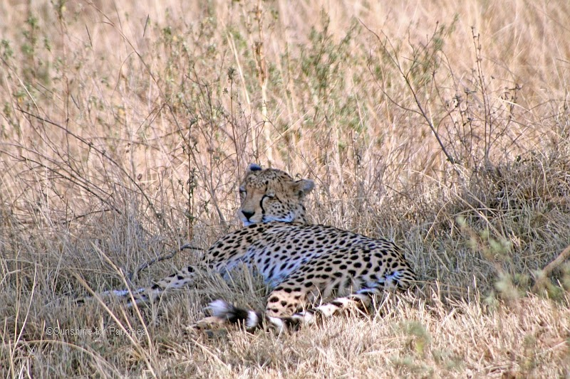 Cheetah sleeping in the shadow in the Massai Mara National Park