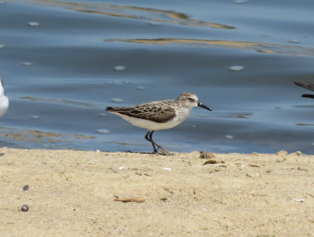 Semipalmated Sandpipers - Jamaica Bay, New York