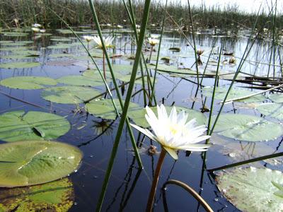 Piękne lilie wodne
