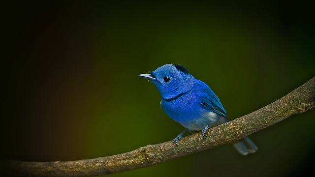 Male black-naped monarch (© kajornyot/Shutterstock) 644