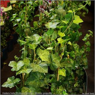 Plant Gallery - Encyklopedia Roślin: Hedera helix species ...