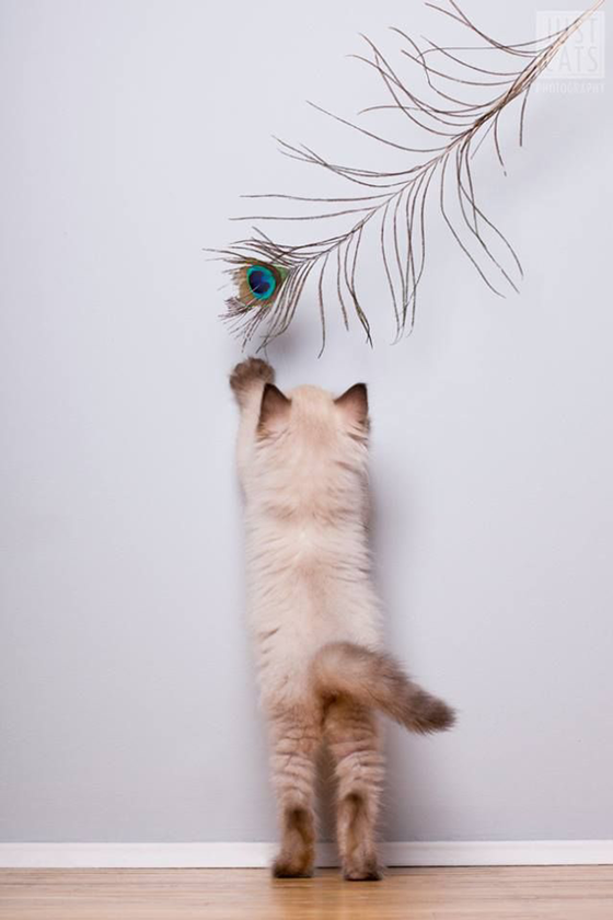 play, cat, feather