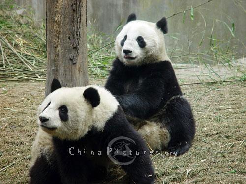 wars panda bear - photo #5