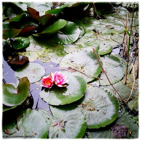 Fotografia di una ninfea rosa all'Oasi di Alviano
