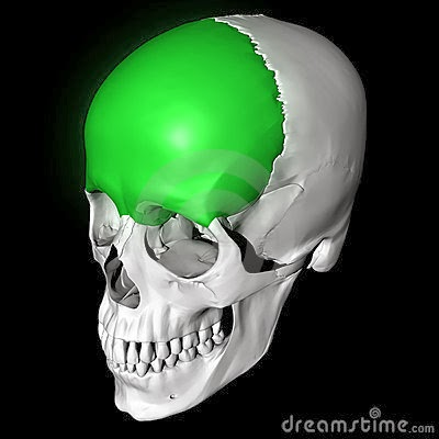 Anatomia : osteologia del craneo-hueso frontal