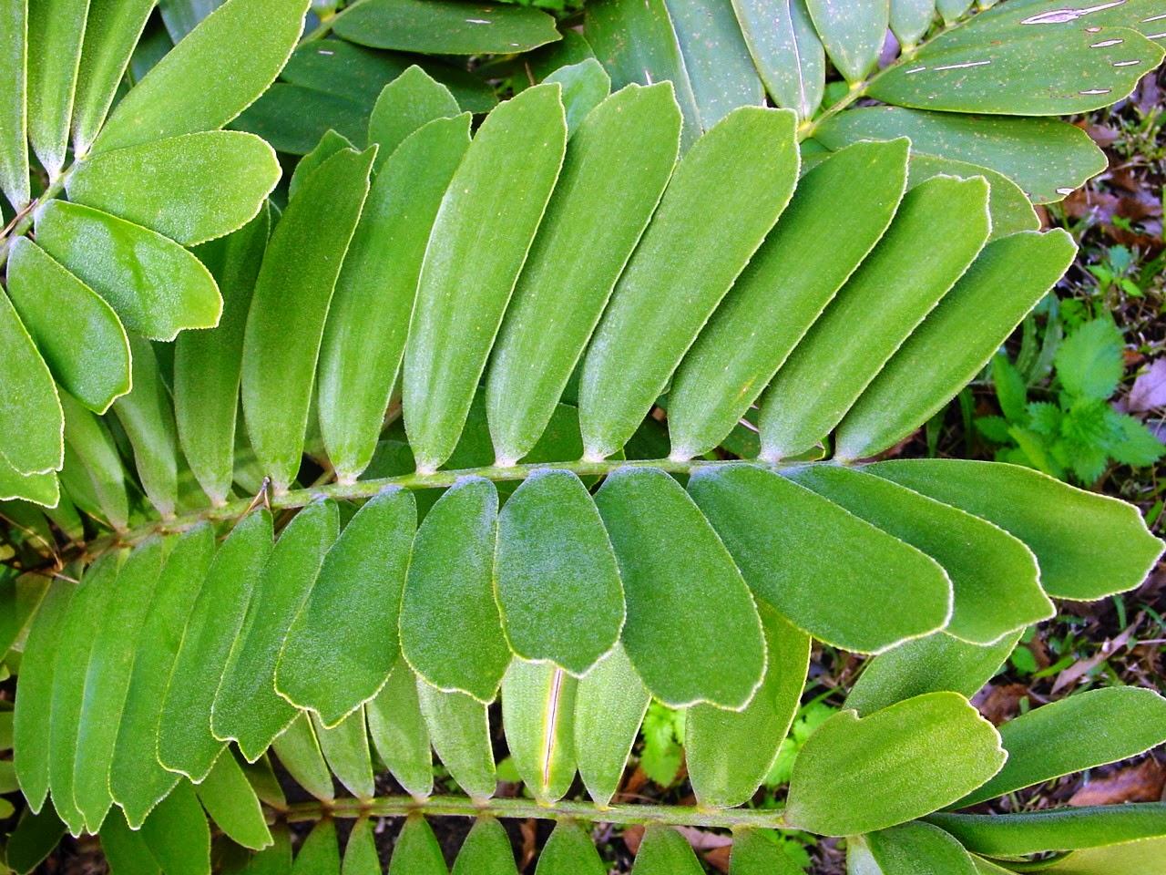 Jual pohon jamia(furfuracea) dan jamia (dollar) | aneka tanaman hias | suplier tanaman | jasa desain taman