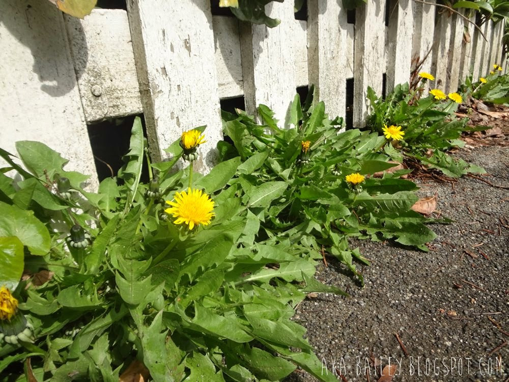 Dandelions against a white picket fence