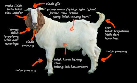 kriteria kambing sehat dan layak