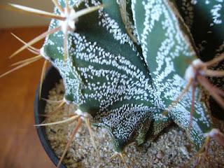 cactus de ocho costillas