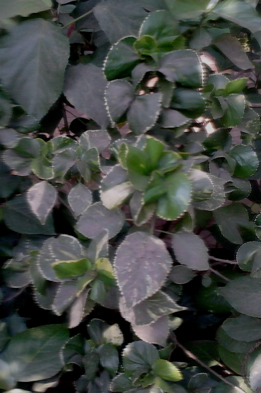 Garden care simplified beautiful ornamental leaf plant for Ornamental vegetable plants