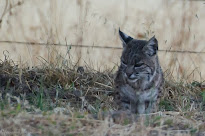 Bobcat Faces
