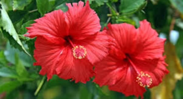 bunga sepatu untuk leangsing badan