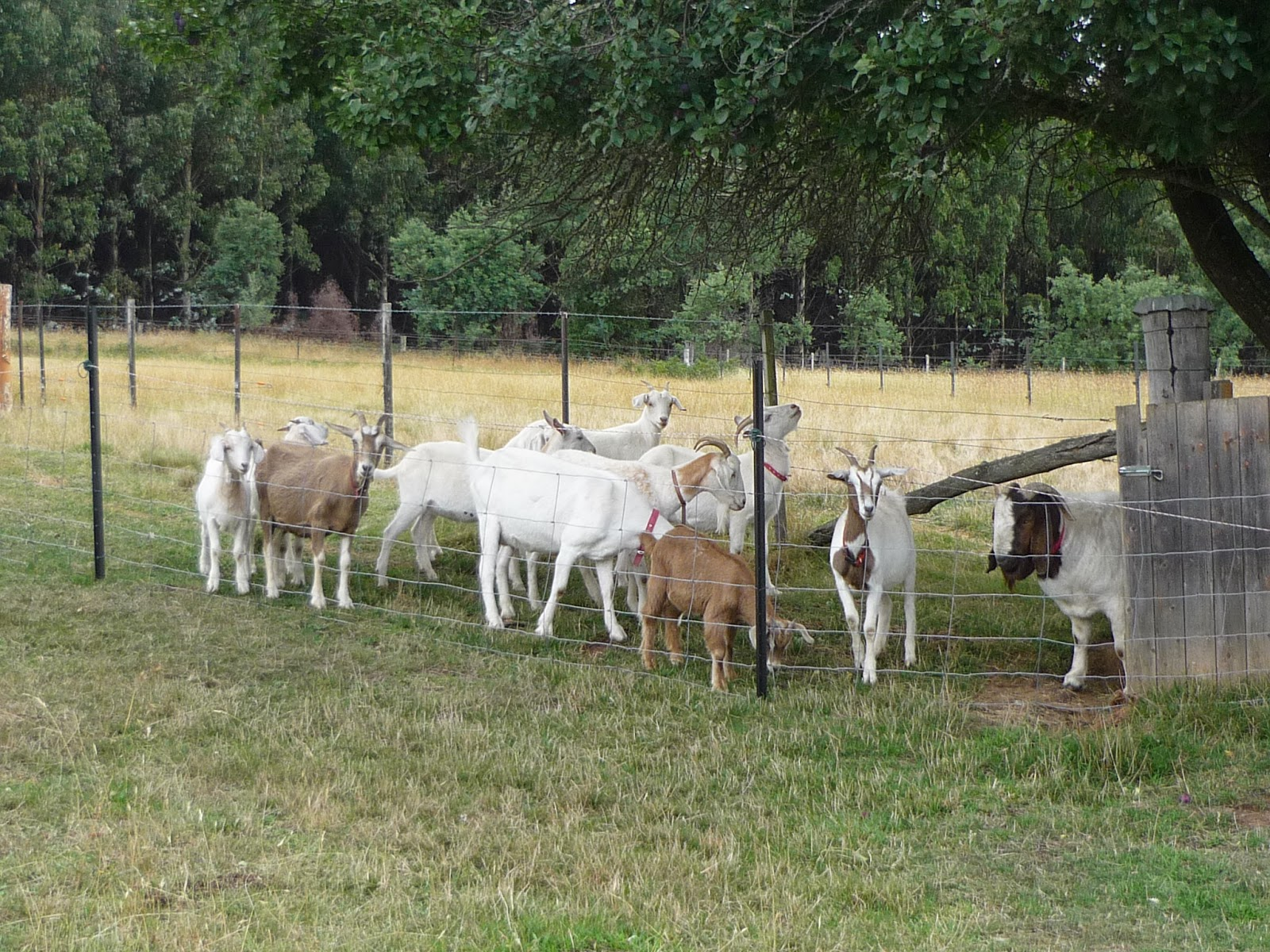 how to start a boer goat farm