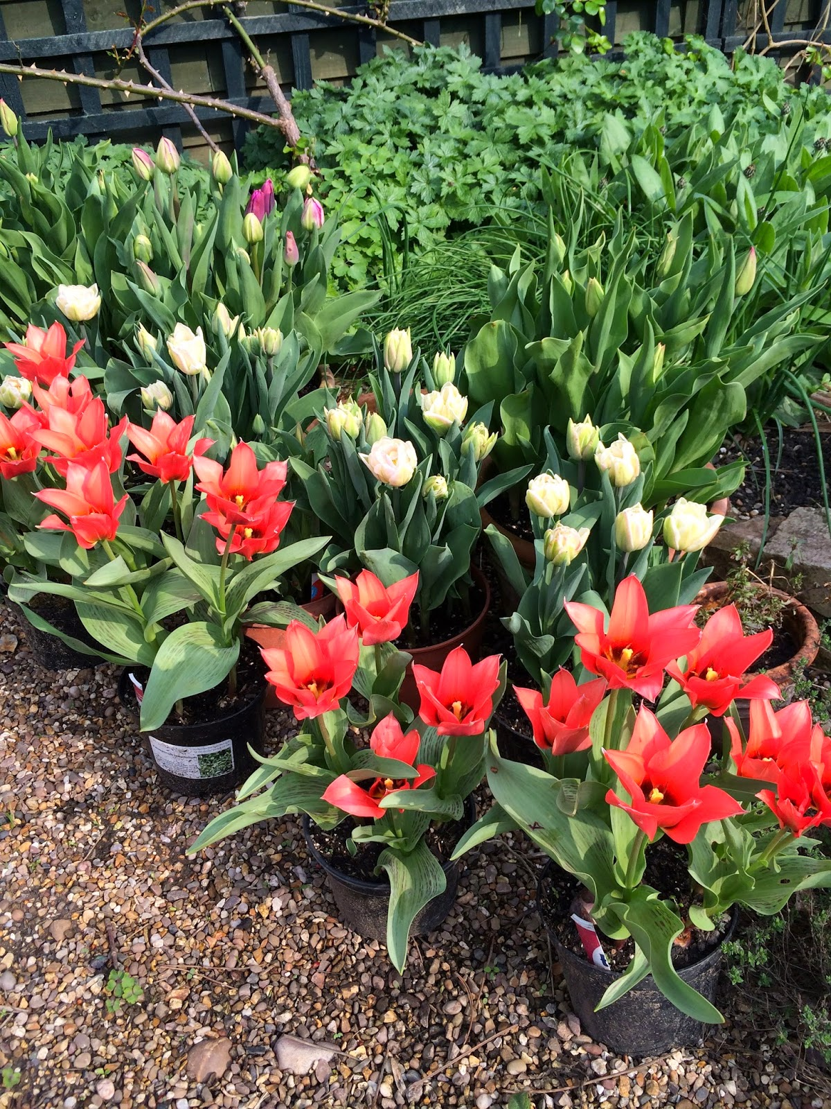 Tulips grow well in containers too