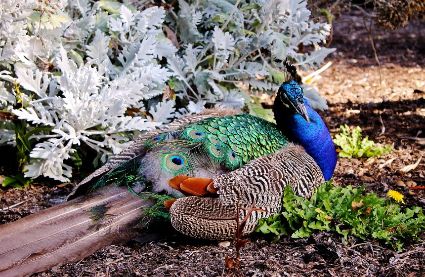 Peacock Gardens Victoria, BC