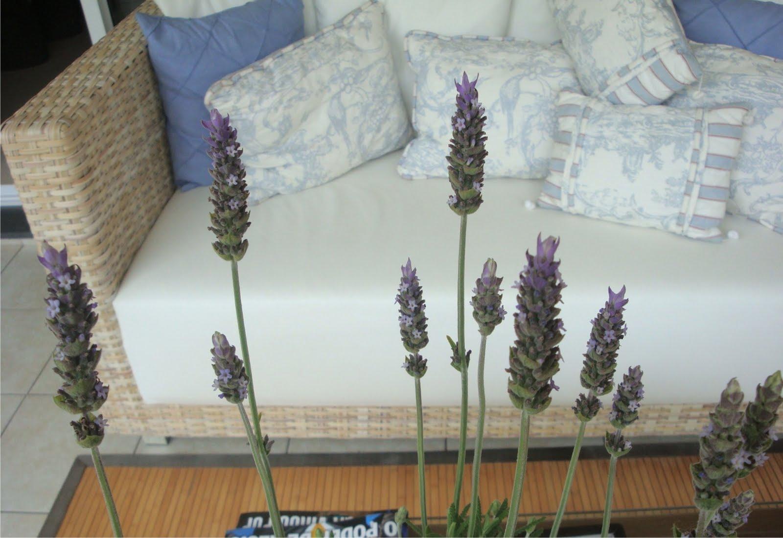 Silvia figurativa lavanda - Cultivar lavanda en casa ...