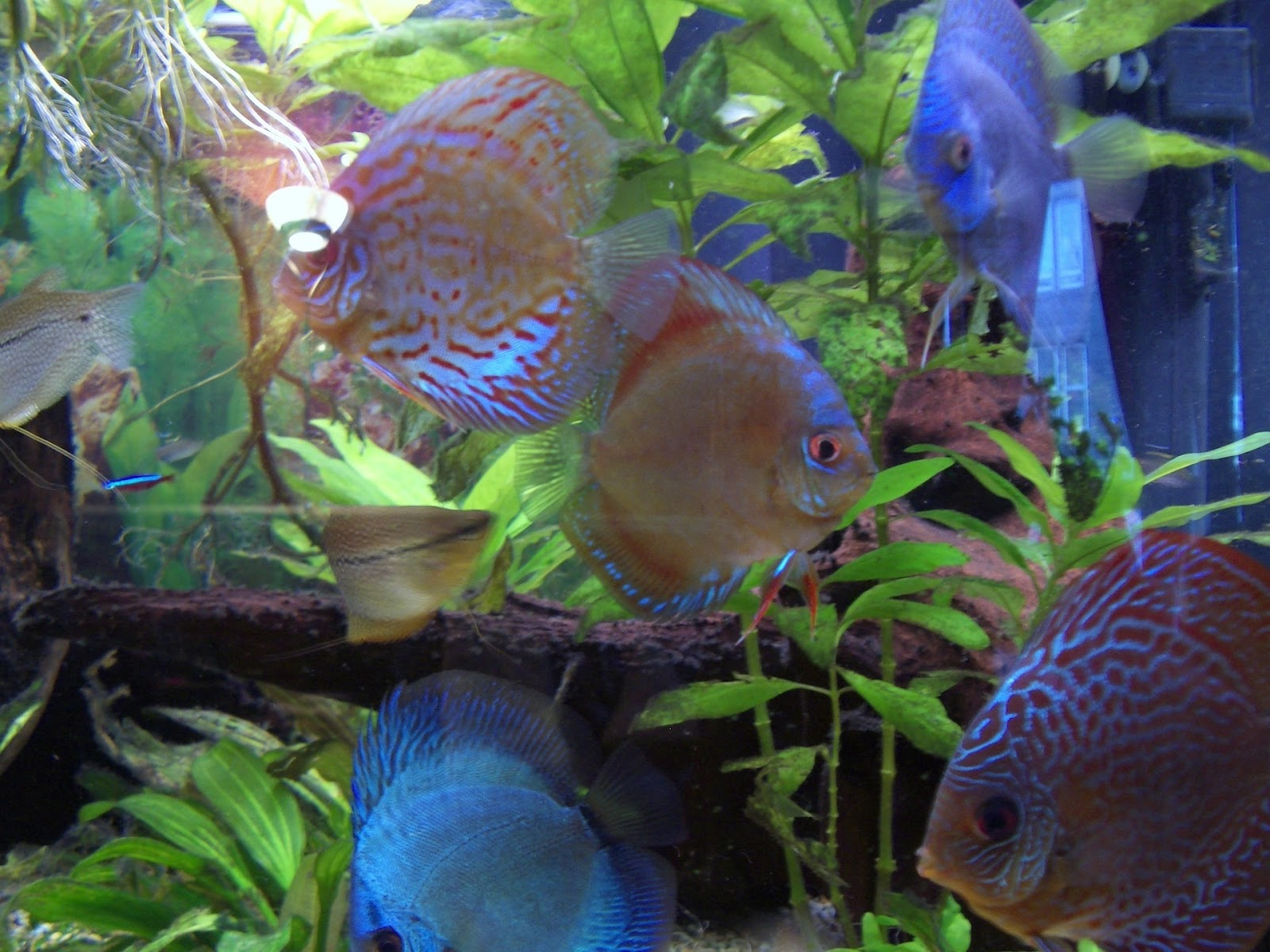 Discus Fish Really Are Great Pets