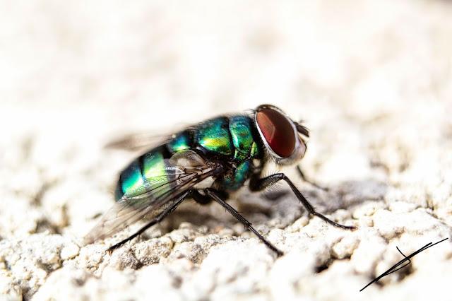 Fotografía macro de una mosca en fotosmacro.blogspot.com