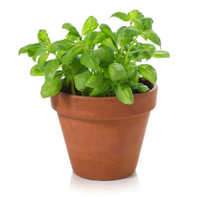 Basil Thyme (Calamintha Nepeta  Satureja Acinos) Overview, Health Benefits, Side effects