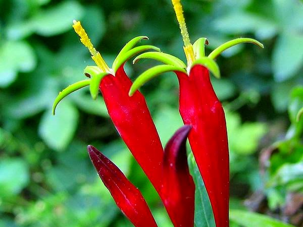 Benefits Of Pinkroot (Spigelia Marilandica) For Health