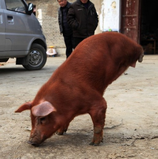 Pig Born With Two Legs