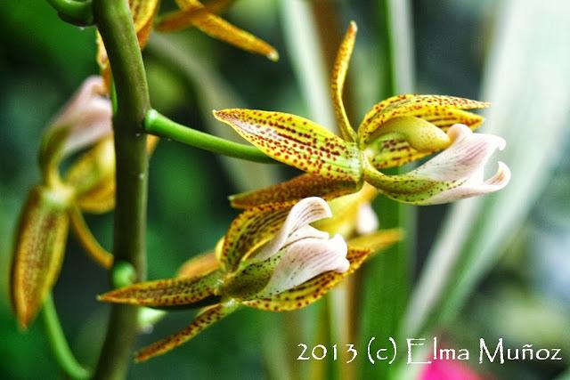 Mormodes wolteriana. Orquideas del Perú