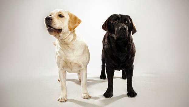 Cute Labrador Retriever Guide Dogs