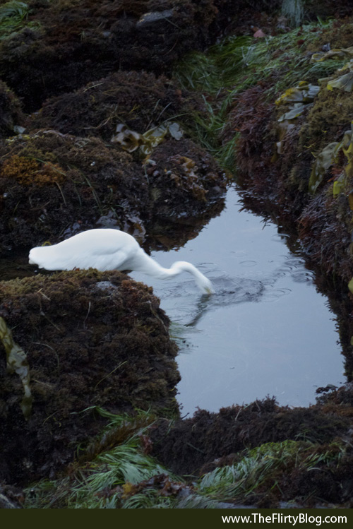 Hunting Giant White Heron