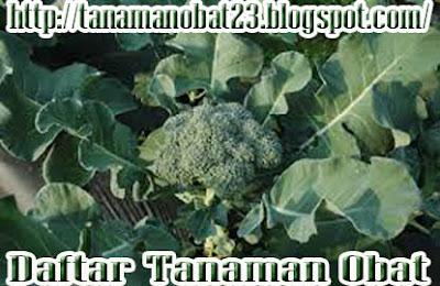 Manfaat Dan Khasiat Tanaman Brokoli (Brassica oleracea var. italica)