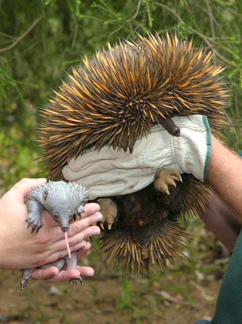 Echidna with her baby