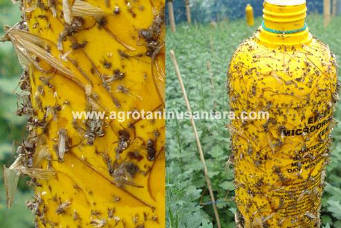 keunggulan-METILAT-LEM-NASA-mengatasi-serangan-lalat-buah-dan-serangga-terbang-pada-pertanian-Agro-Nusantara