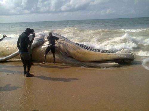 Whale Found On Alpha Beach In Lagos