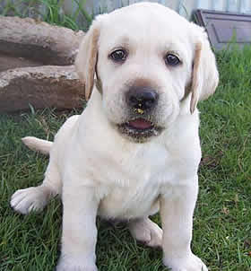 White  Puppies on White Labrador Puppies Labrador Dogs Images