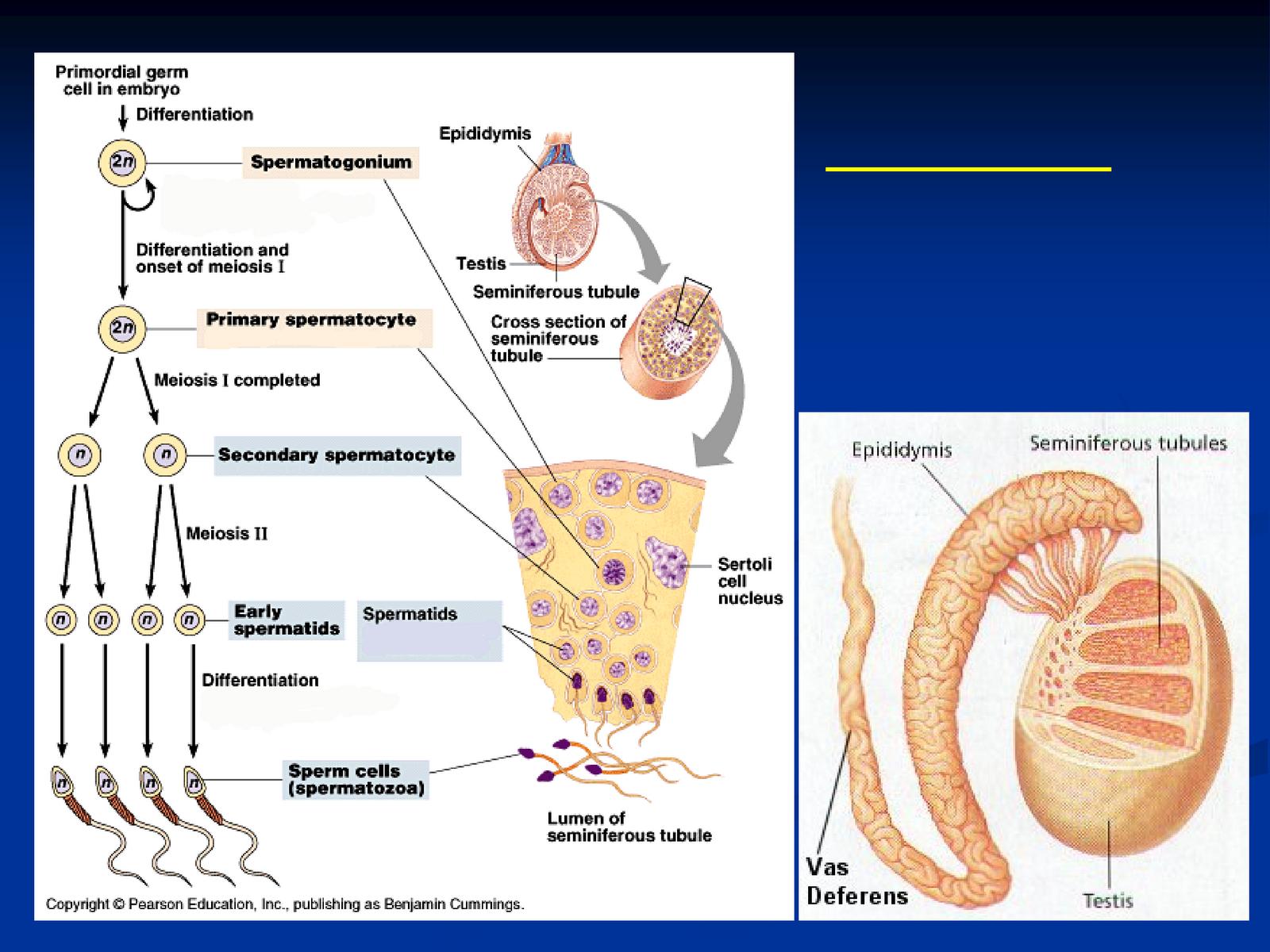 Displaying 19 gt images for spermatogenesis diagram