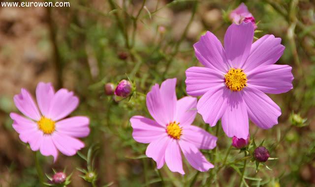 Flores cosmos de color rosa