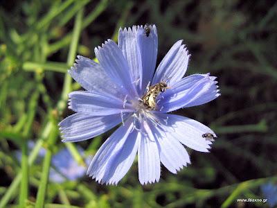 Ραδίκι Κιχώριο-Cichorium intybus