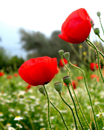 Παπαρούνα η Αφιονι  Το ιερό φυτό της Θεάς Δήμητρας 0757e5f1324
