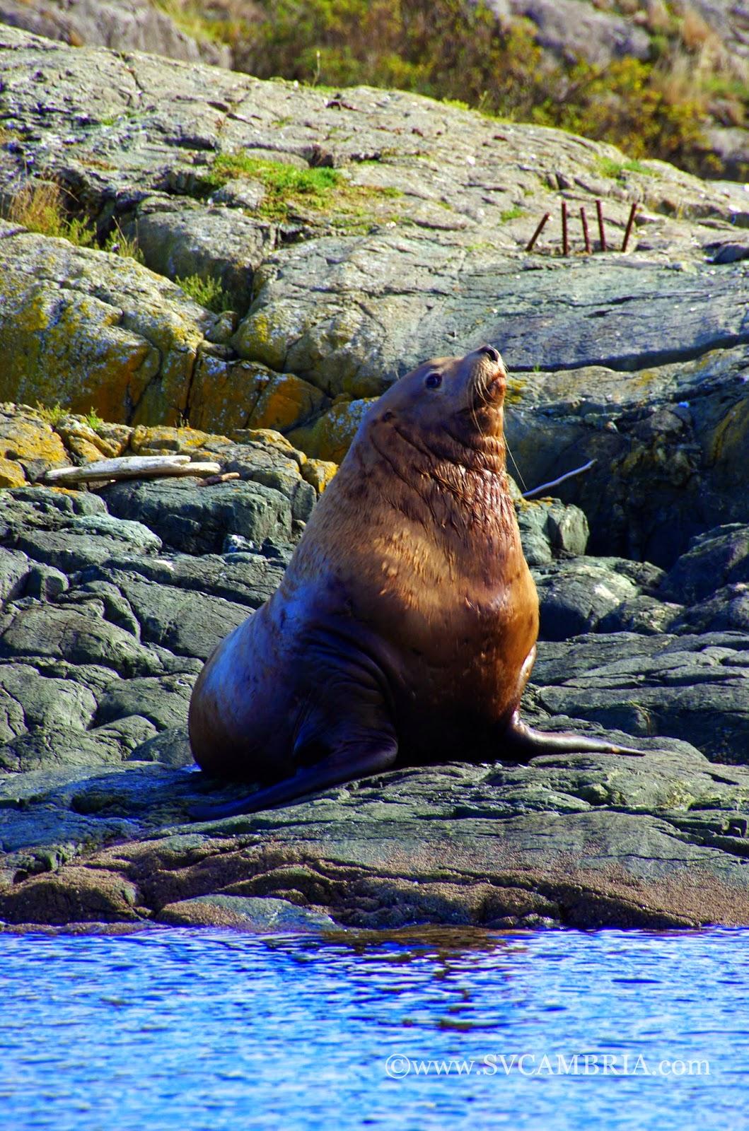 Steller sealion, Mitlenatch Island