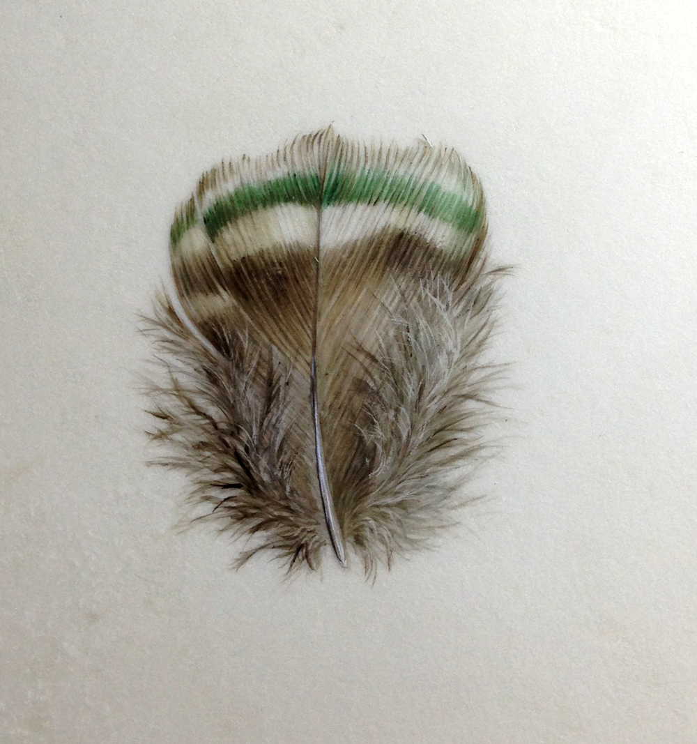 Small brown and green peacock feather painting, watercolour on vellum